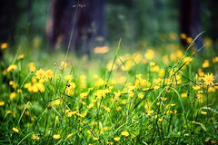 Defocus view of meadow with bright yellow flowers Royalty Free Stock Photo