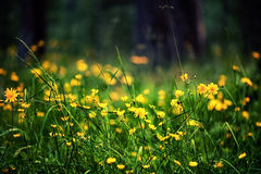 Defocus view of meadow with bright yellow flowers Royalty Free Stock Photos