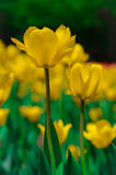 Defocus Yellow tulip flowers Stock Image