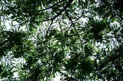 Defocused του δέντρου Mimosa, κατώτατη άποψη Στοκ Εικόνες