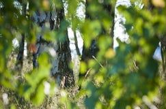 Defocused естественная зеленая предпосылка дерева с солнцем испускает лучи абстракция Bokeh стоковая фотография