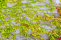 Defocused Abstract Wall Of Ivy Stock Photo