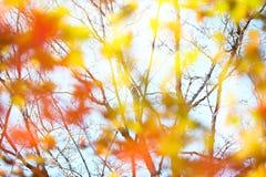 Defocused autumn maple leaves Stock Photo