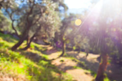 Defocused background of olive grove Royalty Free Stock Photography