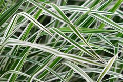 Defocused background of a Phalaris leaves, stripy white and green color grass. Defocused background of Phalaris leaves, stripy white and green color grass stock image