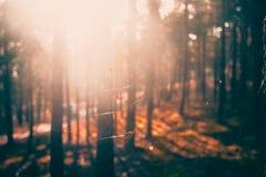 Defocused backround bokeh с сосновым лесом и сетью лета стоковое фото