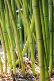 Defocused bamboo stalks Stock Photography