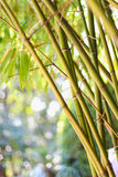 Defocused bamboo stalks Royalty Free Stock Image