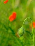 Defocused, blüht Mohnblume auf einem Frühlingsfeld Lizenzfreies Stockfoto