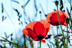 Defocused, blüht Mohnblume auf einem Frühlingsfeld Stockbilder