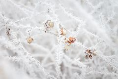 Defocused blurred natural background with frosted branches and berries. Copy space. Defocused blurred natural background with frosted branches and berries. Copy Stock Photography