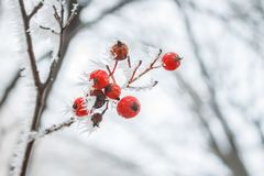 Defocused blurred natural background with frosted branches and red berries. Copy space. Defocused blurred natural background with frosted branches and red Royalty Free Stock Images