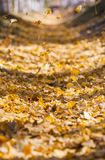 Defocused fall ginkgo tree golden yellow leaves in autumn. Golden yellow autumn ginkgo tree leaves with sunshine in China stock photography