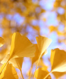 Defocused fall ginkgo tree golden yellow leaves on the wind. Golden yellow ginkgo tree leaves Royalty Free Stock Photography