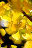Defocused fall ginkgo tree golden yellow leaves on the wind. Golden yellow autumn ginkgo tree leaves Royalty Free Stock Photo