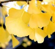 Defocused fall ginkgo tree golden yellow leaves in the wind. Autumn yellow ginkgo tree leaves on sunshine royalty free stock photos