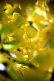 Defocused fall ginkgo tree golden yellow leaves on the wind. Bright autumn yellow glowing colors Royalty Free Stock Images