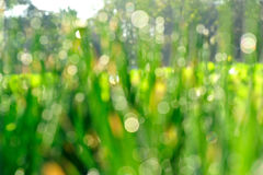 Defocused green spring onion in growth Royalty Free Stock Image