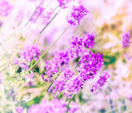 Defocused lavender Royalty Free Stock Photography