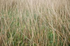 Defocused Reed Thatch Detail Hay Straw Stack Background Texture Agriculture Natural Abstract Striped Stock Photography