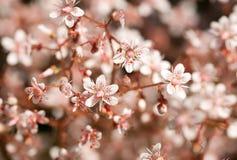 Defocused rosa Sedum-Blumen Stockfoto