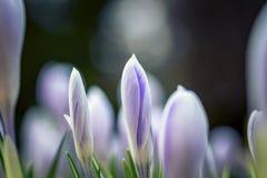 Defocused schöne weiße und blaue Blumen mit den empfindlichen Knospen lizenzfreies stockbild