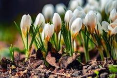 Defocused schöne weiße und orange Blumen Junge Fr?hlingsblumen mit den empfindlichen Knospen Abschluss oben lizenzfreies stockfoto