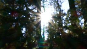 Defocused sunflare μέσω του δάσους, για το κλείδωμα ή του πιάτου υποβάθρου απόθεμα βίντεο