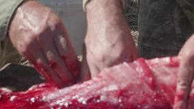 Defocused view of fishermen hands pulling out guts and insides from a large wild carp.