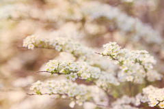 Defocused white spiraea flowers Royalty Free Stock Photo
