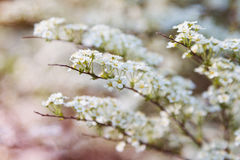Defocused white spiraea flowers Royalty Free Stock Images