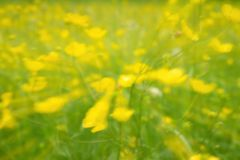 Defocused yellow flowers and grass. Blurred and de focused yellow blossom and grass Stock Image