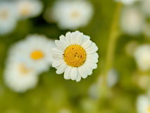 Defocussed marguerites taken outdoor with a f0.95 lens shallow depth of field Stock Photography