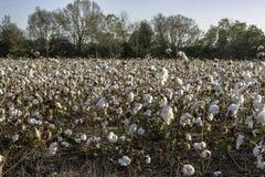 Defoliated cotton plants Royalty Free Stock Photo