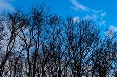 Defoliated drzewa w zimie Zdjęcia Royalty Free
