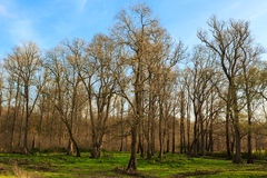 Defoliated and leafless trees. View from below royalty free stock images