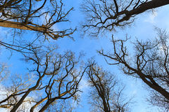 Defoliated and leafless trees. View from below stock photo