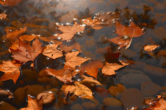 Defoliation. This is a clear autumn leaves fall on the water Stock Image