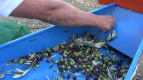 Defoliation of Olives (5) stock video footage