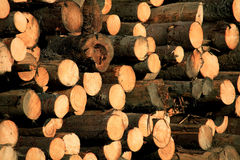 Deforest. Cut trees in Parang Mountains, Romania Royalty Free Stock Images