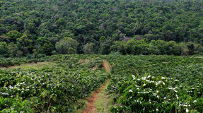 Deforest for agricultural development, coffee plantation. Situation deforest for agricultural development, jungle is reduce, a vast coffee plantation raise make Royalty Free Stock Images