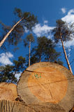 Deforestation. Wood logs from unusual angle illustrating such environmental problem as deforestation Royalty Free Stock Images