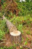 Deforestation. A tree cut down to make way for a tarred road stock images