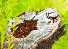 Deforestation. Dead tree stump, save nature and protect earth, conceptual image of environmental damage and forest pollution Stock Image