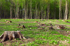 Deforestation of beautiful pristine forest areas. Ukraine Stock Image