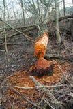 deforestation brutet stupat träd av bäver i det höstligt för arkivfoton