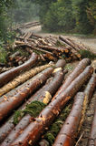 Deforestation concept. Pile of pine logs Royalty Free Stock Photo