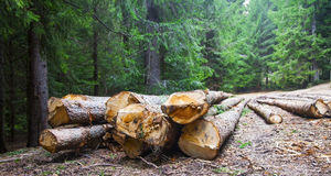 Deforestation.Cutted trees on the side of the forest road Stock Photos