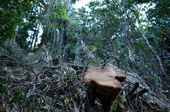 Deforestation. A dead tree after rainforest cut and destruction. Concept photo of deforestation Royalty Free Stock Image