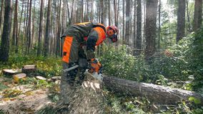 Deforestation, forest cutting concept. Wood is getting sawn by the worker with the shavings flying around